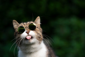 tabby white british shorthair cat with funny sunglasses sticking out tongue