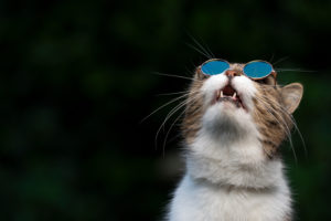 tabby white british shorthair cat wearing funny suglasses looking up in the sky observing birds