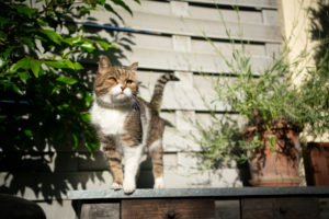 curious tabby white british shorthair cat standing on sunny balcony or terrace