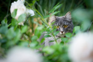 curious maine coon cat hiding behind white rose plant
