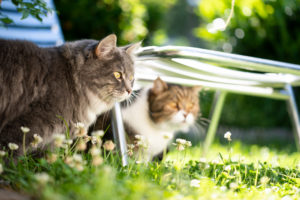 two cats of different breeds observing the sunny garden