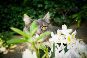 cute blue tabby white maine coon cat hiding behind flowering plant outdoors in garden