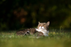 tabby white british shorthair cat lyning on grass looking up in the sky