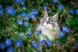 portrait of a beautiful maine coon kitten surrounded by blue flowers