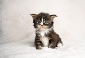 studio shot of a 4 week old tabby white maine coon kitten sitting on blanket with copy space
