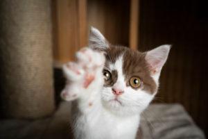 playful white cinnamin british shorthait kitten trying to reach camera with raising paw