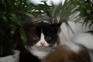 cute tuxedo british shorthair kitten beside plants looking at camera