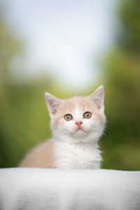 cream white colored british shorthair kitten looking at camera in front of natural background
