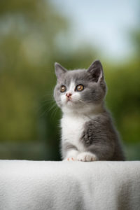 cute blue white british shorthair kitten portrait  looking curiously