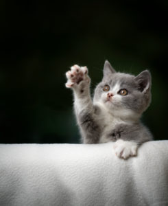 cute playing british shorthair kitten raising paw looking up