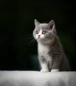 gray white british shorthair kitten standing on white blanket studio shot with copy space