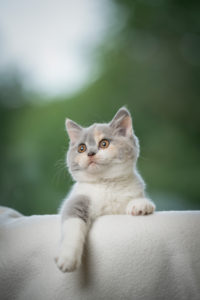 curious tortie white playful british shorthair kitten looking focused with paw hanging down