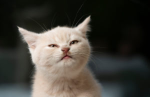cute cream colored british shorthair kitten making a funny face