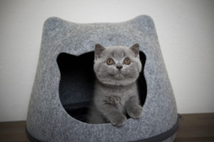 fluffy british shorthair kitten inside of cat head shaped cave looking up curiously