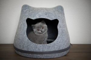 cute fluffy british shorthait kitten resting inside of cathead shaped felt pet cave looking out