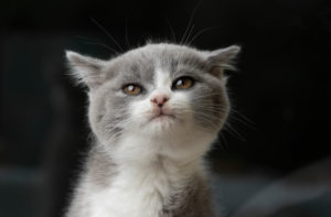 young british shorthair kitten making a cute face