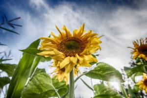 Sunflower field, blue sky, summer