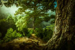 Spain, the Canaries, La Palma, the north, wood, pinewood