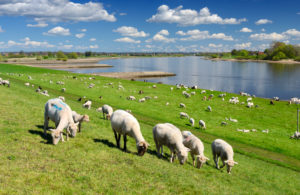 Schafe am Deich in den Vier- und Marschlanden, Hamburg, Deutschland, Europa