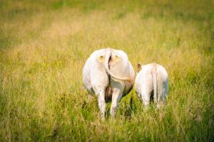 Germany, Hamburg, Kirchwerder, cows on pasture