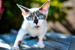 Purebred cat Devon Rex, Felis catus