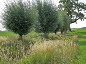 Germany, Bavaria, pollard willow, grasses