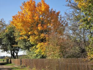 Germany, Bavaria, leaves coloring, maple tree, wooden fence
