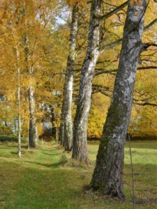 Germany, Bavaria, Eching am Ammersee, birches, leaves coloring, autumn