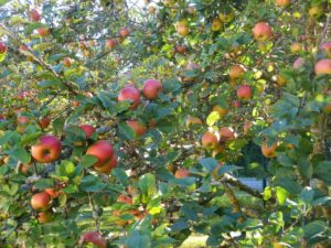 Germany, Bavaria, orchard meadow, apples