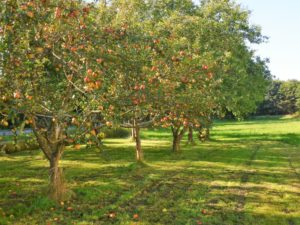 Germany, Bavaria, orchard, apple trees