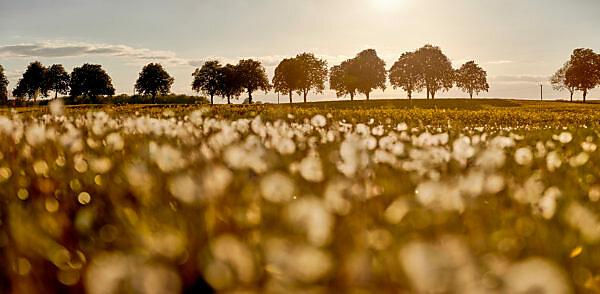 Germany, Mecklenburg-West Pomerania, landscape, rapeseed, Kastanienallee