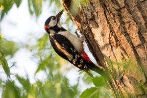 Spotted woodpecker, Dendrocopos major, at breeding burrow
