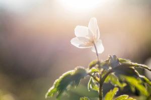 Buschwindröschen, Anemone nemorosa, einzelne Blüte