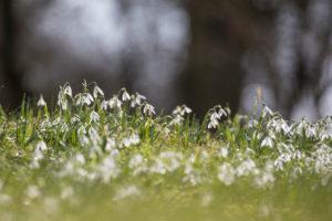 snowdrops, Galanthus, several