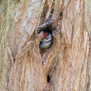 Great spotted woodpecker, Dendrocopos major, single, looking from tree hole