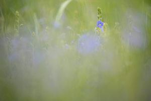 Speedwell, Veronica, blossom