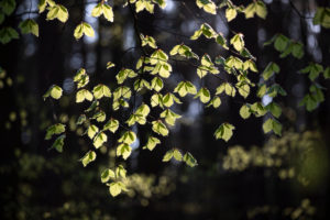 Germany, Mecklenburg-Western Pomerania, beech leaves in spring, backlight