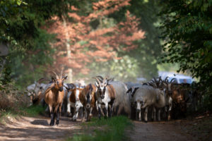 Germany, Mecklenburg-Western Pomerania, goats and sheep on a field path