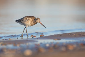 Bar-tailed Godwit, Limosa lapponica, juvenile
