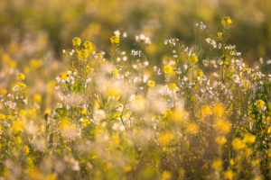 Rape flowers in backlight