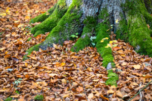 Forest floor in the beech forest in autumn, close-up, detail