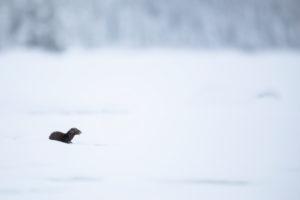 Mink, American Mink, Neovison vison, Finland, Winter