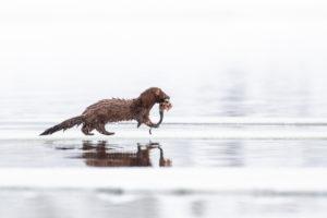 Mink, Amerikanischer Nerz, Neovison vison, mit Fisch als Beute, Finnland, Winter
