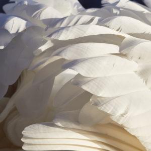Mute swan, Cygnus olor, plumage, detail