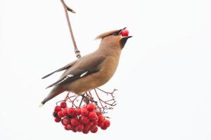 Seidenschwanz, Bombycilla garrulus, Mecklenburg-Vorpommern, Deutschland, Wintergast, mit Vogelbeere