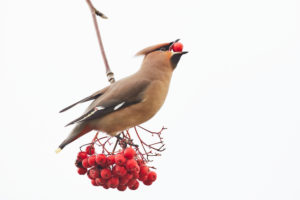Waxwing, Bombycilla garrulus, Mecklenburg-West Pomerania, Germany, winter guest, with rowan berries