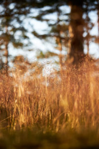 Sweden, grasses against the light
