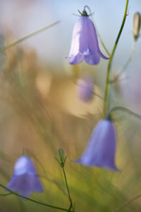 Sweden, bluebell