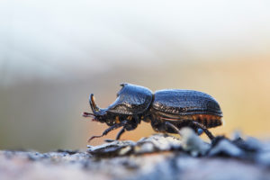 rhinoceros stag beetle, Sinodendron cylindricum