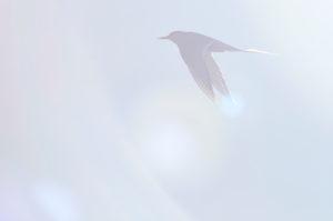 Seeschwalbe im Gegenlicht, fliegen